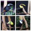 Toucan in captivity — Stock Photo