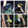 ������, ������: Toucan in captivity