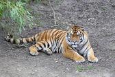 虎、 虎 — 图库照片