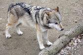 Grijze wolf, canis lupus — Stockfoto