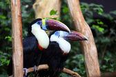 White throated toucan, ramphastos tucanus — Stock Photo