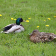 Mallard, Anas platyrhynchos - Stock Photo
