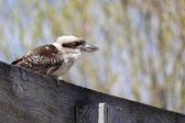 Laughing Kookaburra, Dacelo novaeguineae — Stock Photo