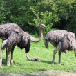 Stock Photo: Ostrich, Struthio camelus