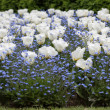 Stock Photo: Tulips and myosotis