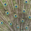 Feathers of peacock — Stock Photo