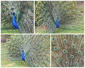 Indiase pauw, pavo cristatus — Stockfoto