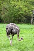 Ostrich, Struthio camelus — Fotografia Stock