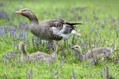 Greylag goose and gosling — Stock Photo