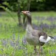 Greylag goose — Stock Photo #26133995