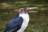 Marabou Stork, Leptoptilos crumeniferus — Stock Photo