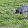 Greater rhea — Stock Photo
