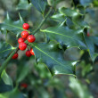 Stock Photo: Ilex aquifolium