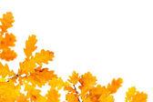 オークの秋の紅葉 — ストック写真