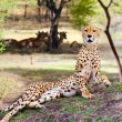 Cheetah — Stock Photo