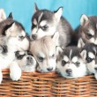 Nine husky puppies   — Stockfoto