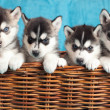 Stock Photo: Four puppies Husky