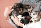 Husky puppies for female hands — Stock Photo