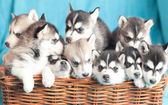 Nine husky puppies — Stock Photo