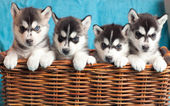 Four puppies Husky — Stock Photo