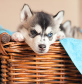 Husky puppy in a basket — Stock Photo