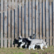 Puppies run along the fence — Stock Photo