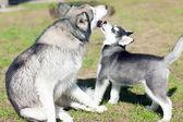 Puppy dog kisses — Stock Photo