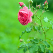 Red rose — Stock Photo #31956389