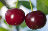 Ripe cherry — Stock Photo