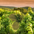 Sunset in a vineyard in Hessen Germany — Foto de Stock