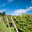 Vineyard in Hessen Germany — Stock Photo