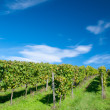 Vineyard in Hessen Germany — Foto de Stock
