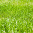 Green grass background in spring — Stock Photo