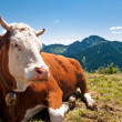 German cow resting on mountain alp — Stock Photo #26132927