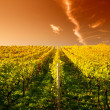 Sunset in a wineyard in Hessen Germany — Foto de Stock