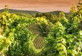在一个葡萄园中 hessen 德国日落 — 图库照片