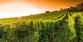 Západ slunce na vinici v hesensku německo — Stock fotografie