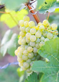 White grapes in a german vineyard — Stock Photo