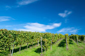 Vineyard in Hessen Germany — Stok fotoğraf