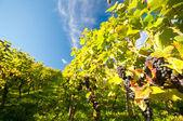 在 hessen 德国 wineyard — 图库照片