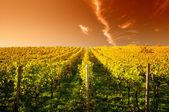 Západ slunce v vinic v hesensku německo — Stock fotografie