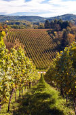 Vineyard in Germany — Stockfoto