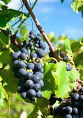 Red grapes in a german vineyard — Stock Photo