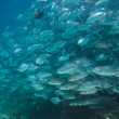 Huge school of jackfish - Stock Photo