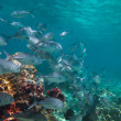Huge school of jackfish — Stock Photo