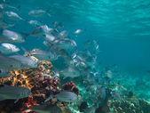 Huge school of jackfish — Stock Photo