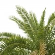 Green palm — Stock Photo