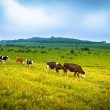 Stock Photo: Cows grazing on a green summer meadow