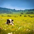 Cows grazing on a green summer meadow — Stock Photo #16035175