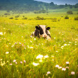 Cows grazing on a green summer meadow — Stock Photo #16035179